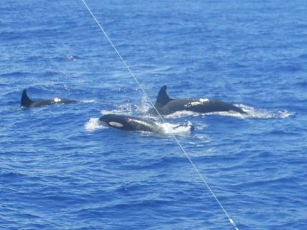 Killer Whale Pod (photo credit: visiting sports fisherman)