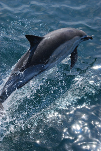 Common dolphin (Delphinus delphis) © Neil Golding