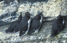 Incubating Common Guillemots © Matt Parsons/JNCC