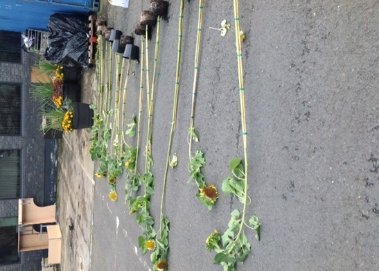 sunflowers laid out