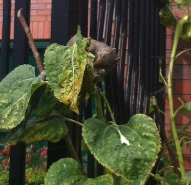 Squirrel munching on Turing Sunflower at Manchester Science Park