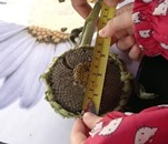 A little girl practices measuring her sunflower