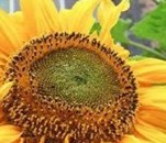Turing Sunflower