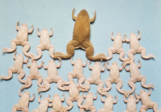 One large brown dried frog with a number of smaller white frogs behind it.