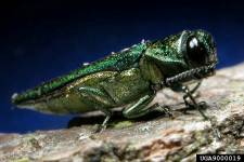 Emerald ash borer, Agrilus planipennis: a pest of ash trees from China. Although this has not been intercepted, this has established in North America where it is causing severe damage and tree mortality to native elms.