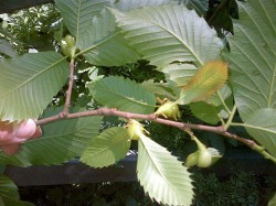 Oriental chestnut - gall wasp damage