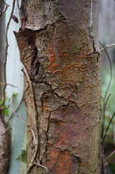 Bark death and cracking on the lower stem of Castanea sativa (sweet chestnut) tree caused by Cryphonectria parasitica (sweet chestnut blight), including orange fruit bodies