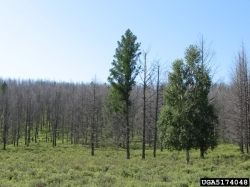 Defoliation of larch forest by Siberian silk moth larvae (Dendrolimus sibiricus)